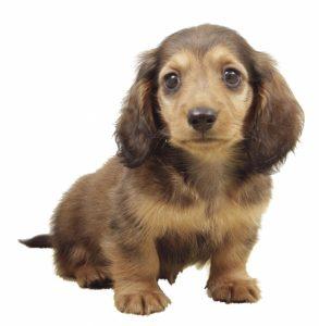 ダックスフンドの子犬 英語をイメージで覚える